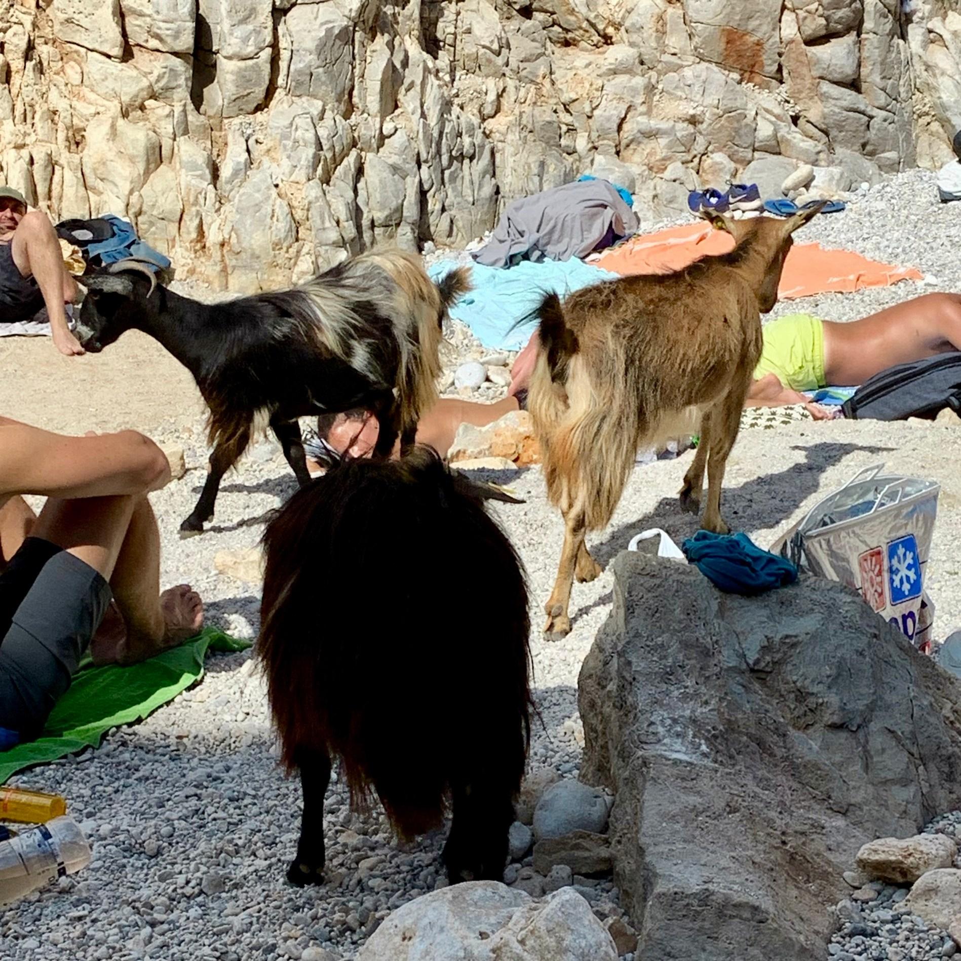 Goat at Beach