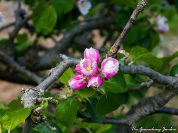 Armagh apple blossoms-4