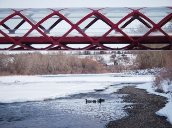 The ducks aren't impressed by Calgary's award-winning Peace Bridge