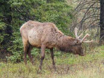 Bull elk in spring