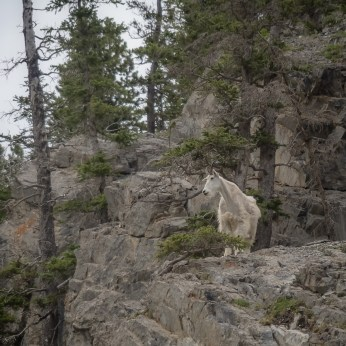 Mountain goat in the process of shedding its winter coat