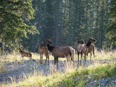 Elk mothers and calves