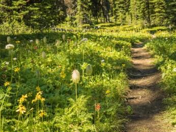 Sherbrooke-Creek-Trail-wildflowers