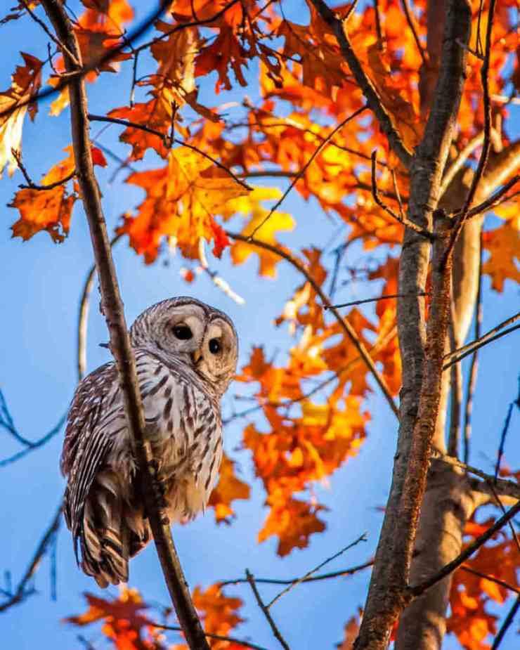 sonbahar baykuş foto