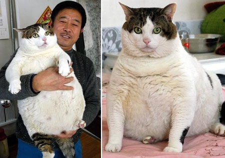 dünyanın en şişman kedileri