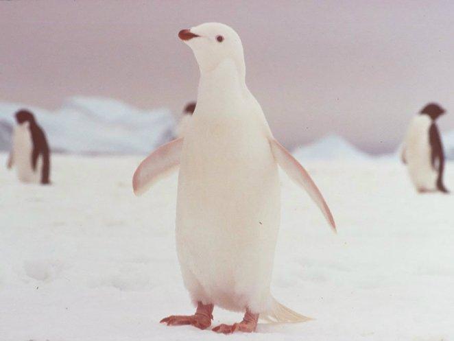 albino penguen