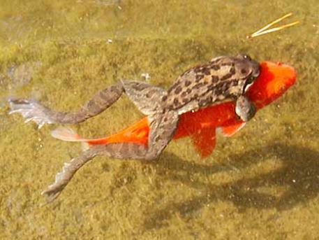 kurbağa balık