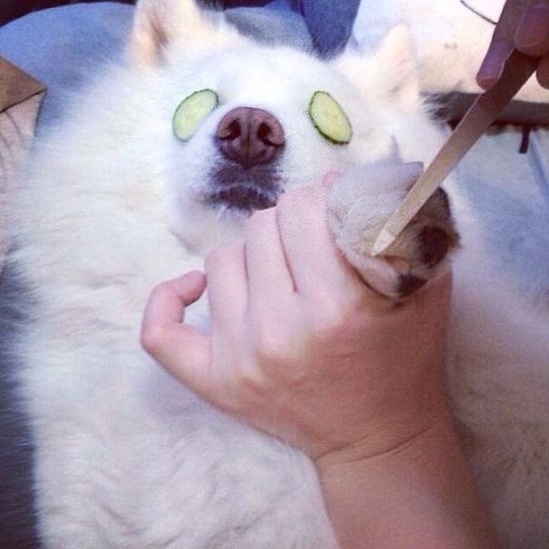 pedikür manikür yaptıran köpek
