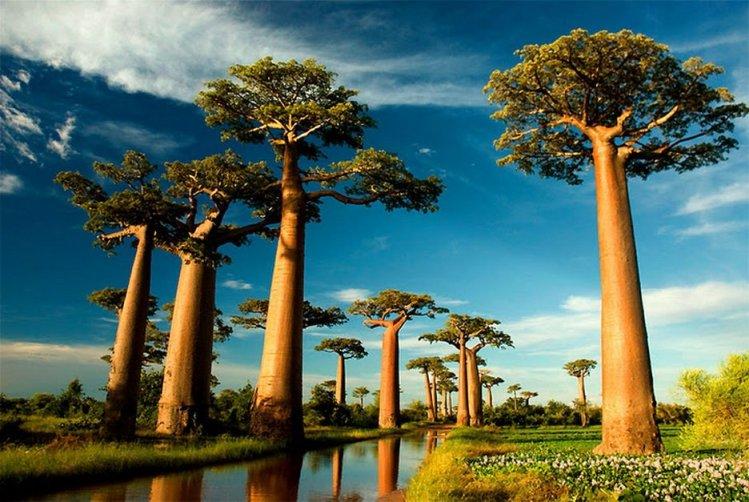 baobab ağacı
