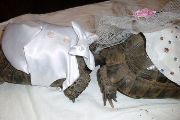 kaplumbaga-düğünü