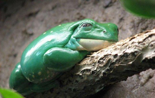 Hamilee kurbağa