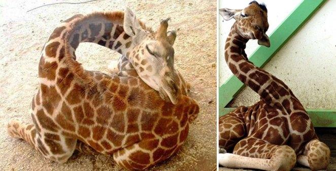 zürafalar nasıl uyur 2