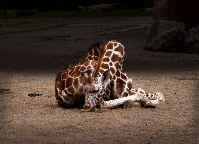 zürafalar nasıl uyur 3
