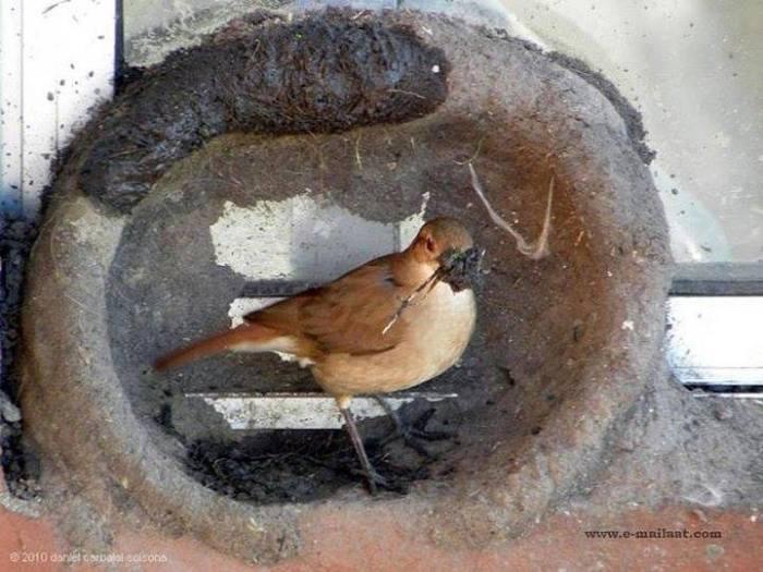 Kuşların yuva yapımı 7