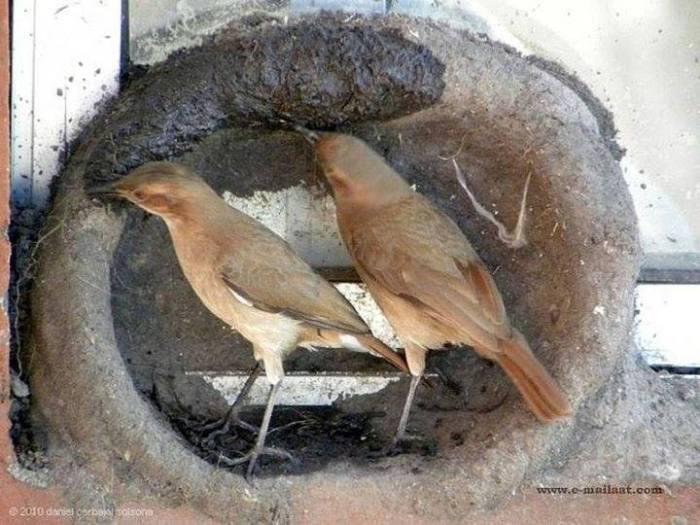 Kuşların yuva yapımı 8