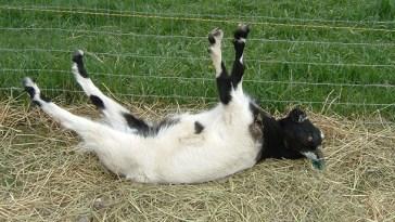 panik yapan keçiler