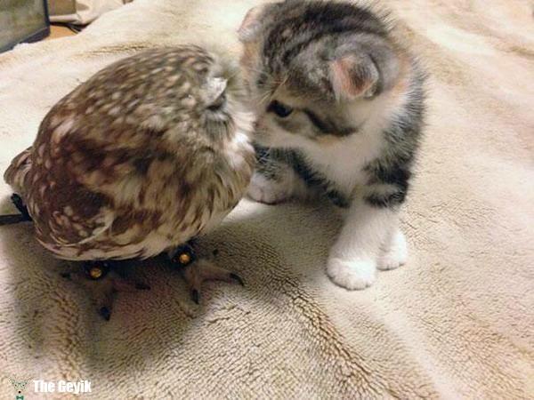 Kedi baykuş