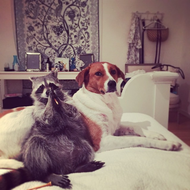 rakun ve köpek foto