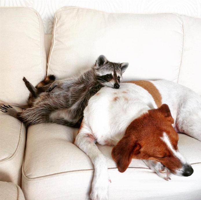 rakun ve köpek resim