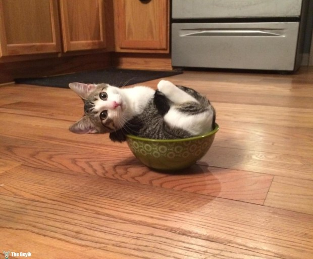 kedi tabak