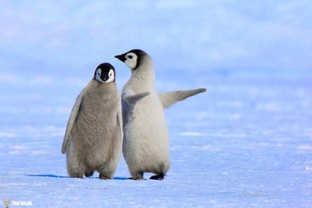 penguen fotoğrafları 6