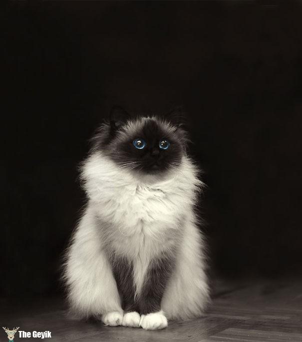 tüylü kedi