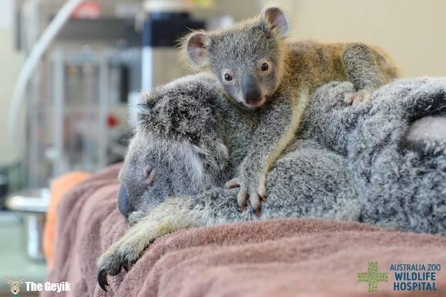 annesini bırakmayan koala