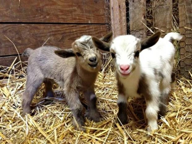 bebek keçi