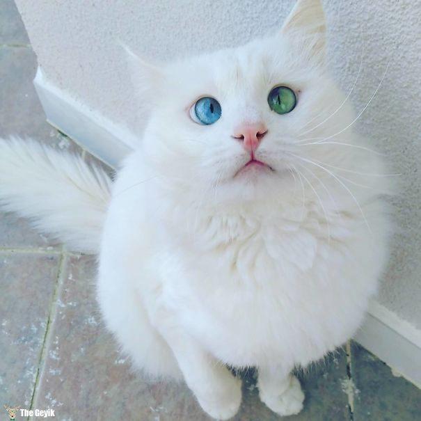 Gözleri Şaşı Olan Kediler2