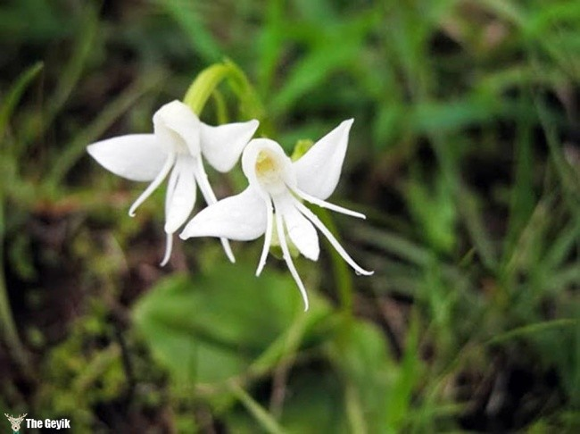 Habenaria Grandifloriformis melek orkide