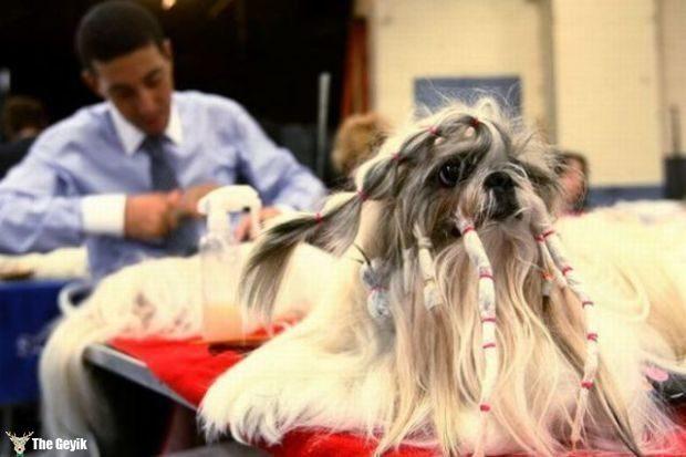 Komik köpek kedi traşları kuaför 12