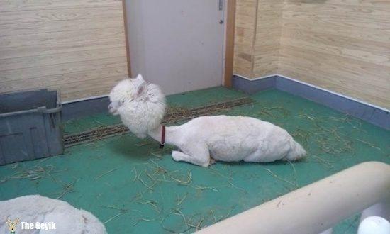 Komik köpek kedi traşları kuaför 6