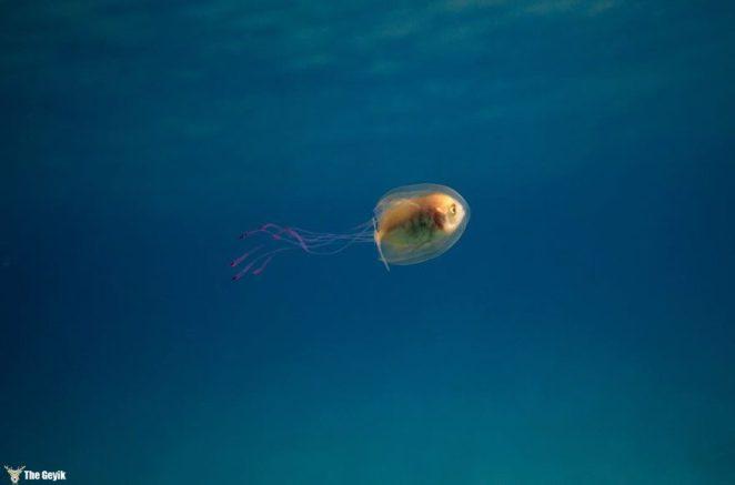 denizanasibalik