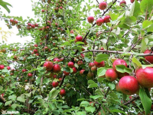 balmumu elma