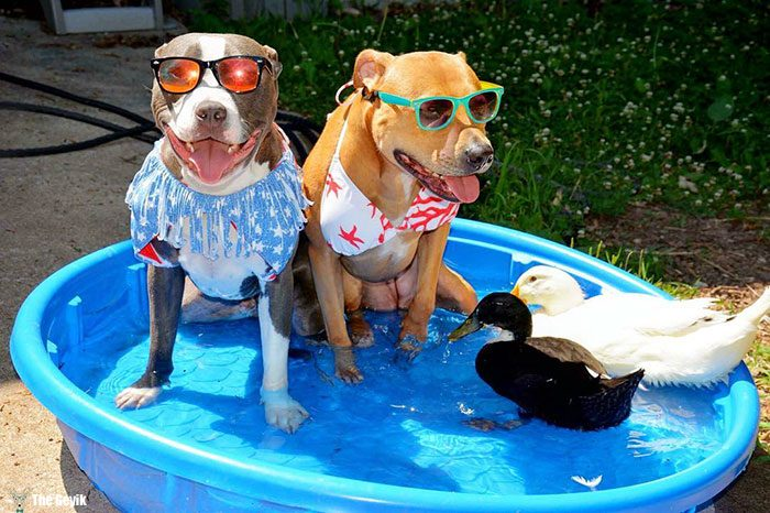 unusual-animal-friendship-dogs-cat-ducks-kasey-and-her-pack-27