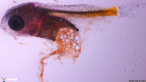 mikro plastik yiyen balık