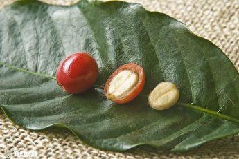 coffee-red-berries
