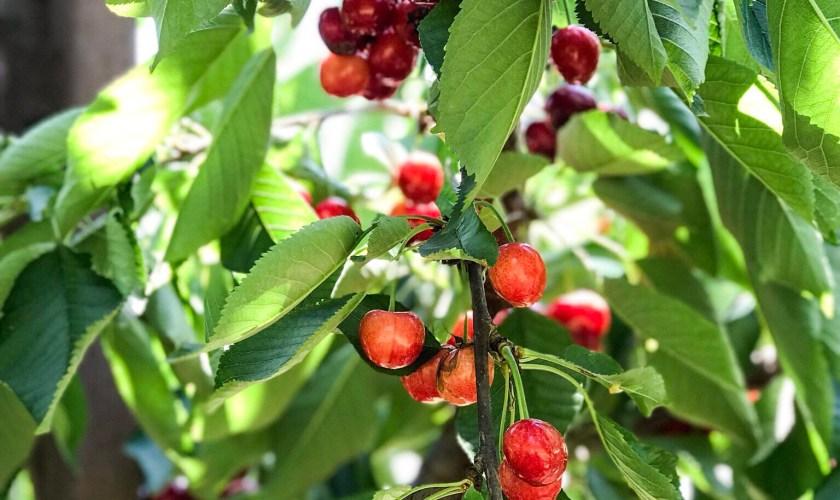 My First Fruit Picking
