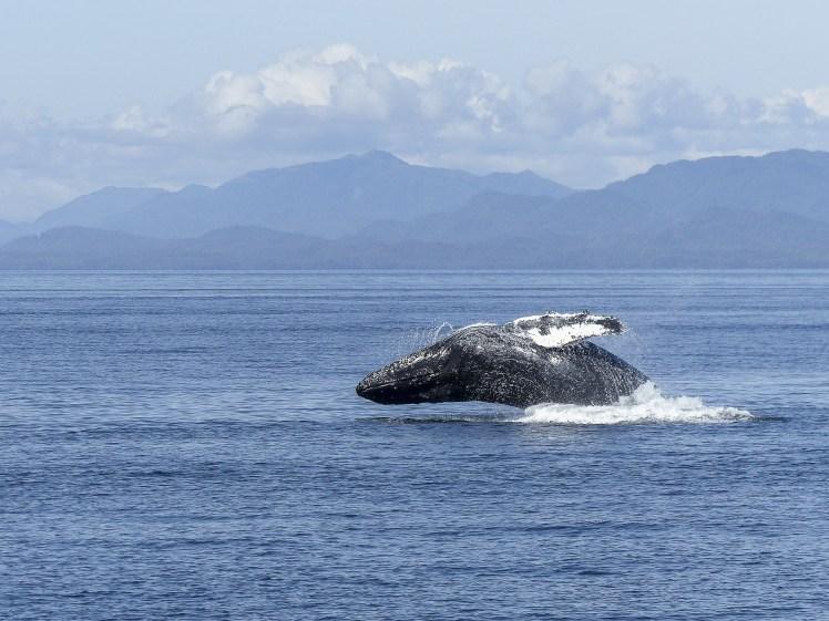 humpback-whale-436118_1920