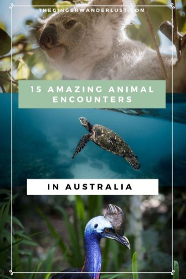 Top 15 most amazing animal enounters in Australia. See Koalas in the wild, swim with sharks, turtles, whale sharks, sea lions, dolphins and more! Chill on the beach with kangaroos, or take a selfie with a quokka. Australia has such a range of incredible wildlife experiences