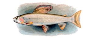 Arctic Grayling fish