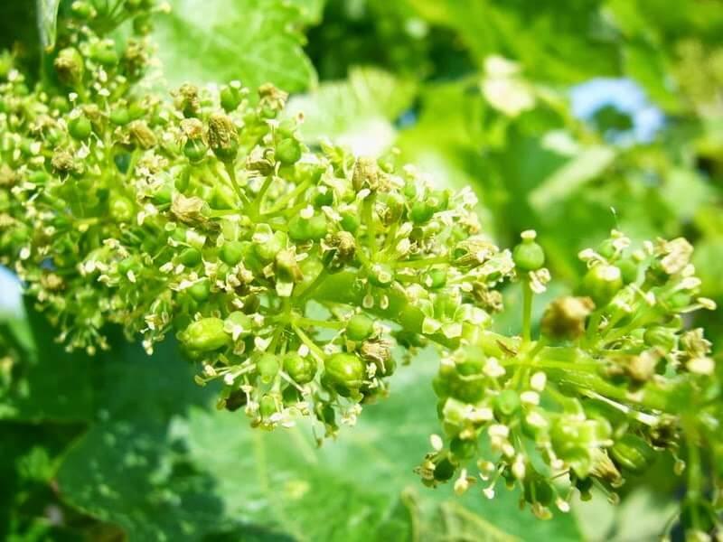 fleurs-de-vigne