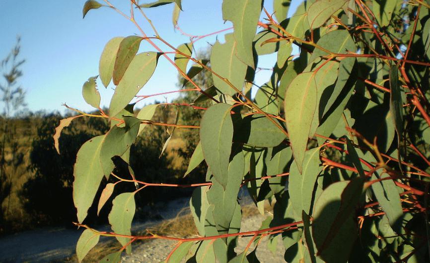 Strawberry-Gum-Leaf