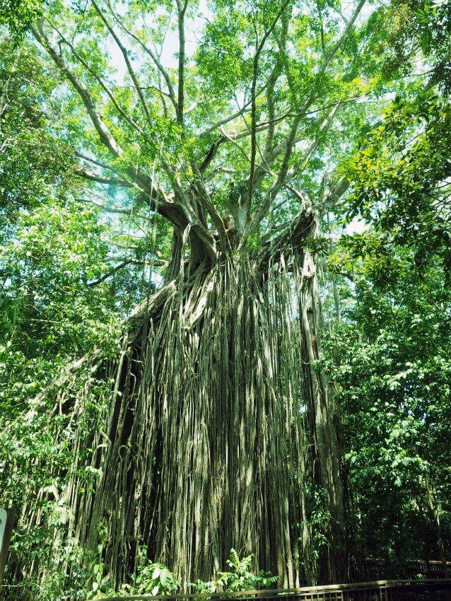 curtain-fig-tree