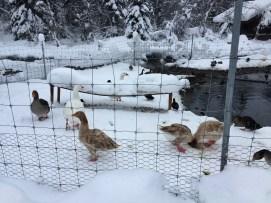 Chena Ducks 1