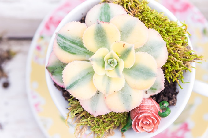 succulents planted in yellow floral polka dot teacups with moss and miniature teapot