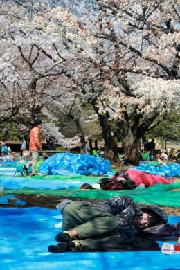 Sleeping under the sakura