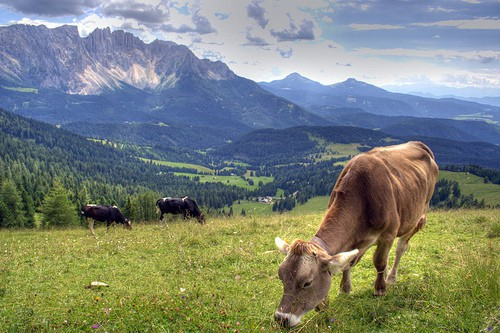 Cows grazing, Rosengarten, The Dolomites, Italy by ** Maurice ** Freshman 15 College Weight Gain