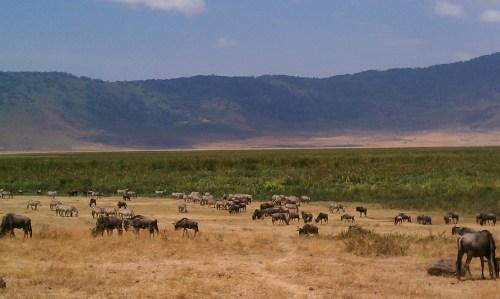 Zebras and wildebeests mingling in Ngorongoro Crater Tanzania   The Girl Next Door is Black