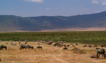 Zebras and wildebeests mingling in Ngorongoro Crater Tanzania | The Girl Next Door is Black